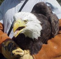Bald Eagle rehabed at Lake Tahoe Wildlife Care