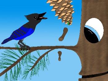 Stellers Jay in Sugar Pine Tahoe Cultlure